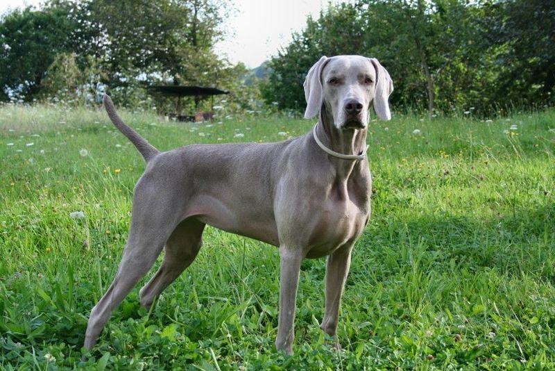 Raza tradicionalmente usada en la caza, pero que cada vez se usa más como perros de compañía.