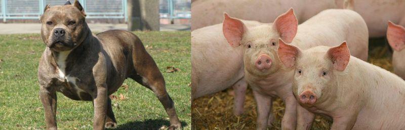 ¿Quién es más mortífero, el perro o el cerdo?