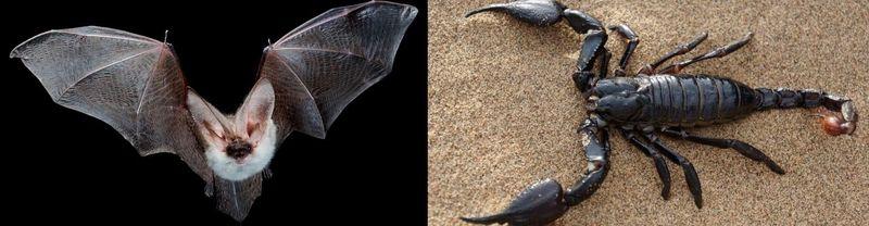 ¿Quién es más letal, el escorpión o el murciélago?
