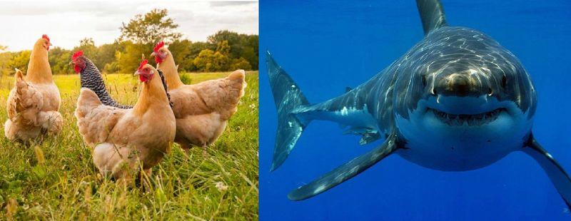 ¿Quién causa más muertes al año, las gallinas o los tiburones?