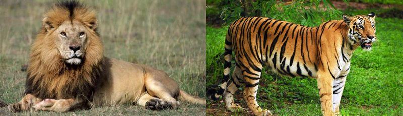 ¿Quién es más letal el león o el tigre?