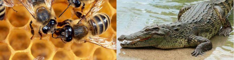 ¿Quién es responsable de más muertes, los cocodrilos o las abejas?