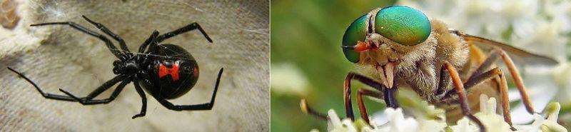 Y por último ¿Quién es más peligroso, la araña o el tábano?